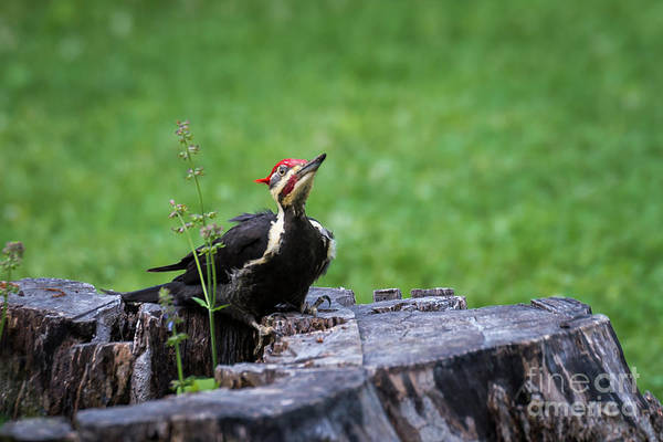 Photograph - Posing Woodpecker by Andrea Silies