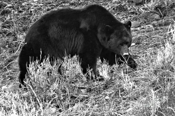 Photograph - Post Hibernation Binge Black And White by Adam Jewell