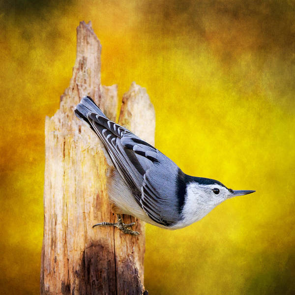 Sitta Carolinensis Photograph - Posted Nuthatch On Point by Bill Tiepelman