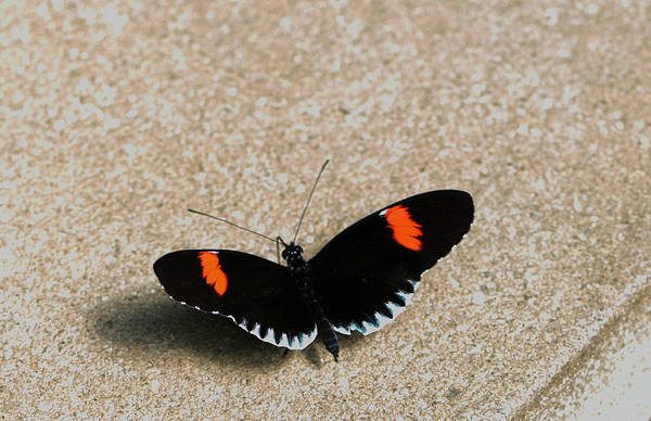 Photograph - Postman Butterfly by John Forde