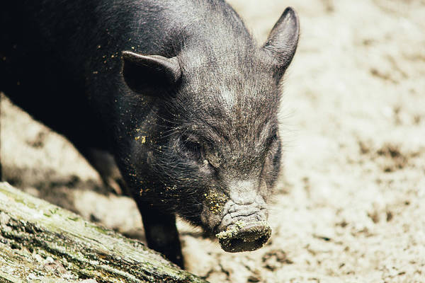 Wall Art - Photograph - Potbelly Piglet Portrait by Pati Photography