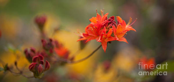 Rhododendrons Photograph - Potential by Mike Reid
