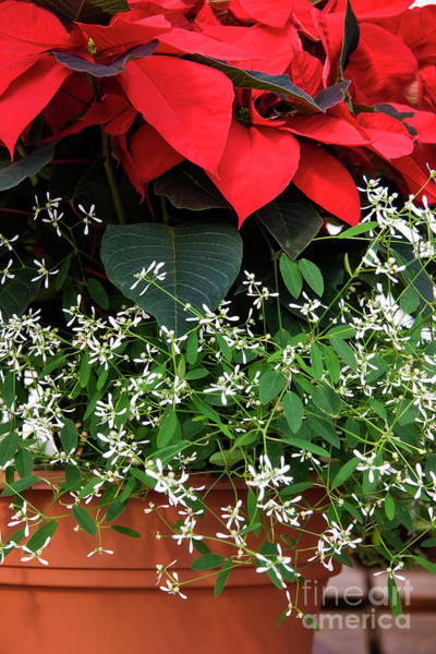 Photograph - Potted Poinsettia by Jill Lang