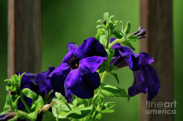 Photograph - Potted Purple Petunia Plant On The Porch by Lois Bryan