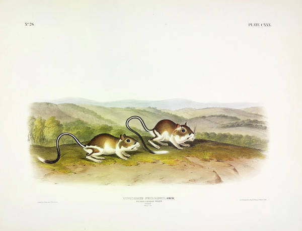Ferrets Wall Art - Painting - Pouched Jerboa Mouse by John James Audubon