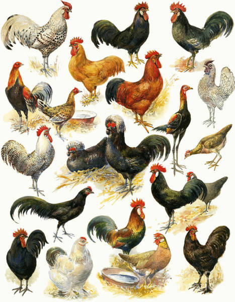 Wall Art - Painting - Poultry by English School