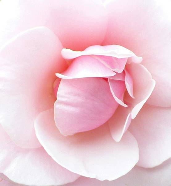 Pink Rose Photograph - Powder Puff Rose by Florene Welebny