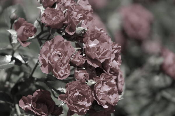 Photograph - Powder Red Roses - Almost Black And White by Colleen Cornelius