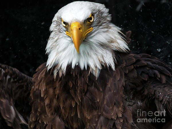 Photograph - Power Of The Eagle by Eyeshine Photography