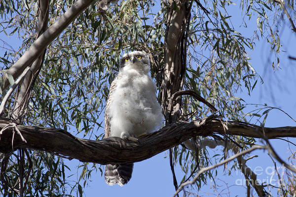 Photograph - Powerful Owl Chick by Karen Van Der Zijden