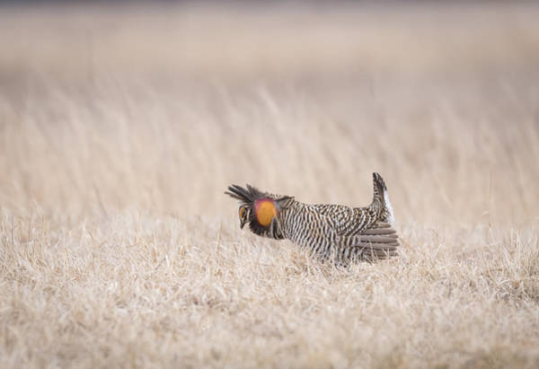 Photograph - Prairie Chicken 1-2015 by Thomas Young