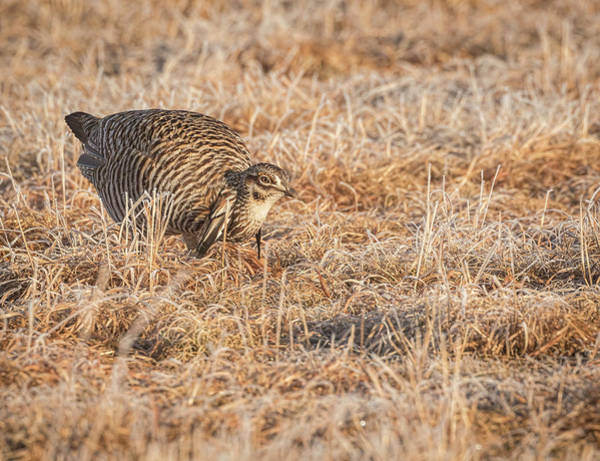 Photograph - Prairie Chicken 11-2015 by Thomas Young