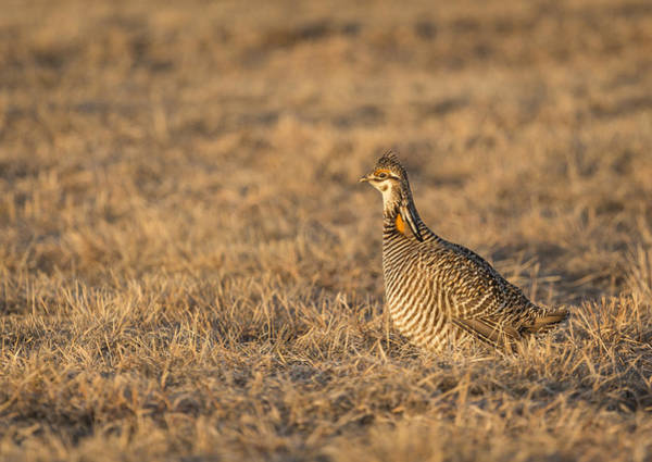 Photograph - Prairie Chicken 2013-16 by Thomas Young