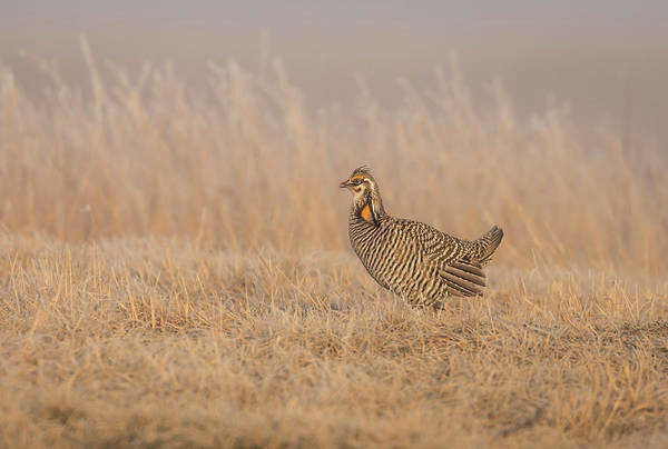 Photograph - Prairie Chicken 5-2015 by Thomas Young
