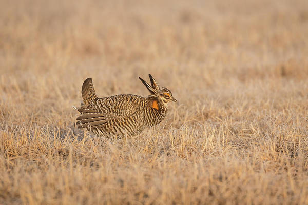Photograph - Prairie Chicken 7-2015 by Thomas Young