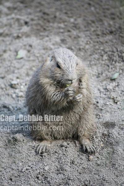 Photograph - Prairie Dog 4632 by Captain Debbie Ritter