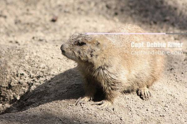 Photograph - Prairie Dog 4641 by Captain Debbie Ritter
