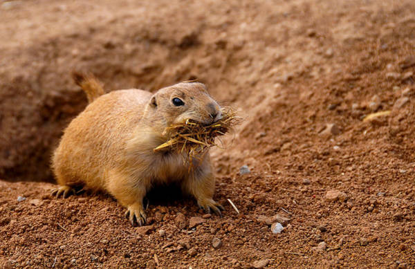 Photograph - Prairie Dog by Don and Bonnie Fink