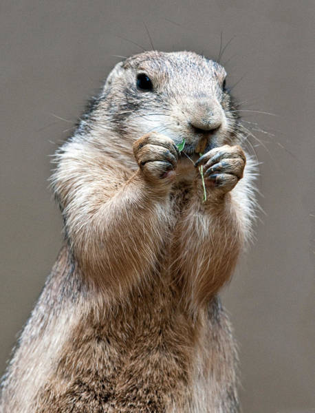 Photograph - Prairie Dog Eating by William Bitman