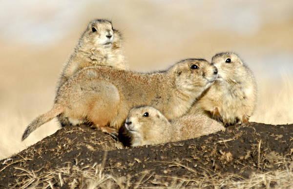 Photograph - Prairie Dog Family Portrait by Larry Ricker