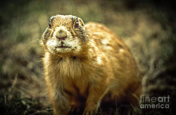 Photograph - Prairie Dog by Heiko Koehrer-Wagner