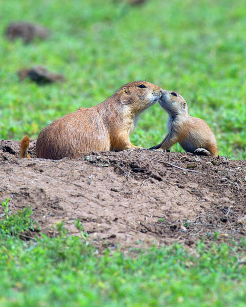 Dog Watch Photograph - Prairie Dog Kisses by Gary Langley