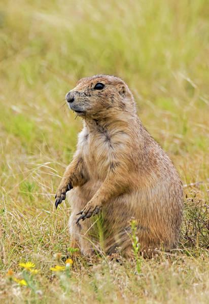 Photograph - Prairie Dog by Loree Johnson