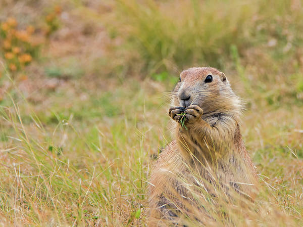 Photograph - Prairie Dog Munching by Loree Johnson