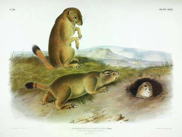 Prairie Painting - Prairie Dog, Prairie Marmot-squirrel by John James Audubon