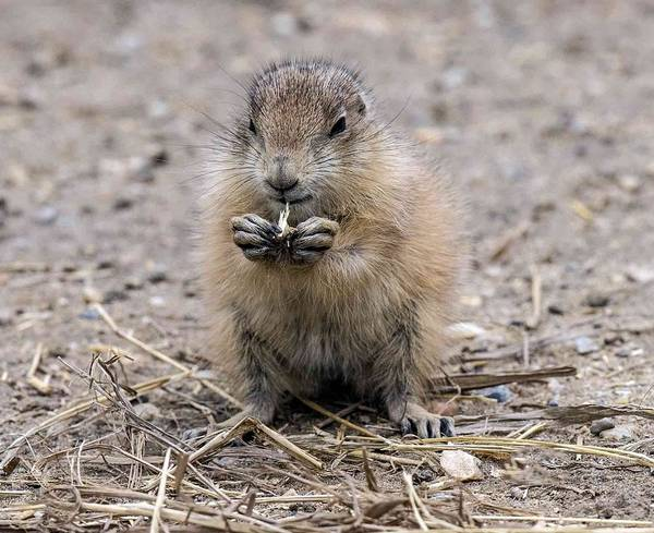 Photograph - Prairie Dog Pup Eating by William Bitman