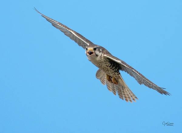 Photograph - Prairie Falcon In Flight by Judi Dressler