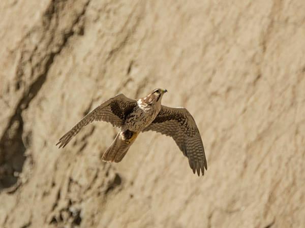 Photograph - Prairie Falcon In Flight by Loree Johnson