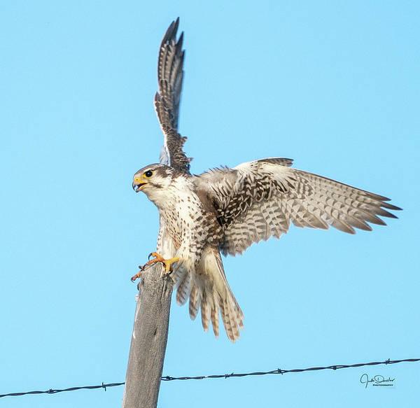 Photograph - Prairie Falcon Landing On Post by Judi Dressler