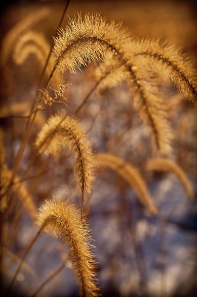 Tallgrass Wall Art - Photograph - Prairie Grass Detail by Steve Gadomski