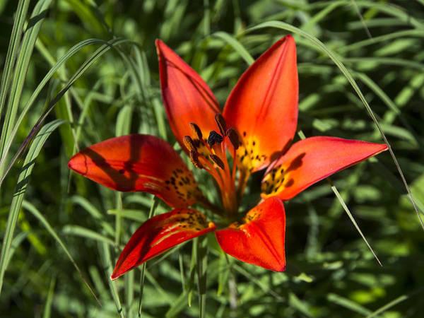 Photograph - Prairie Lily by Ian Johnson