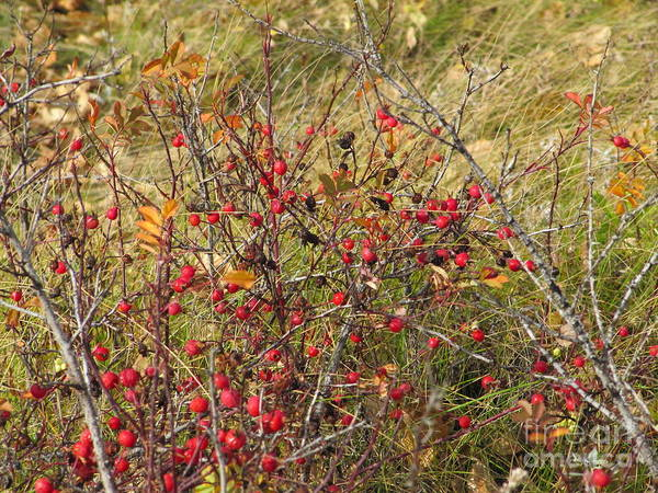 Photograph - Prairie Rosehips by Donna L Munro