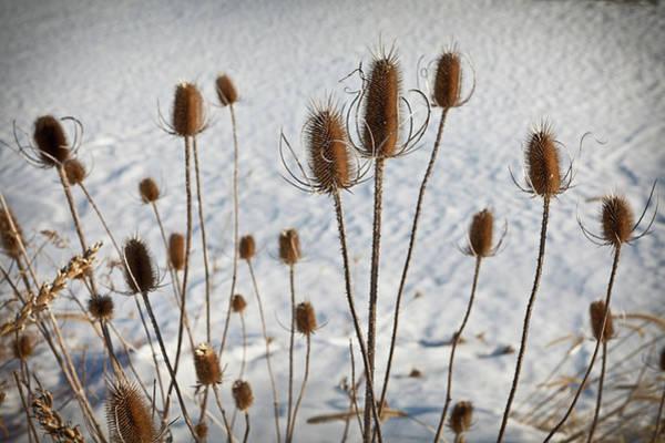 Tallgrass Wall Art - Photograph - Prairie Seedheads by Steve Gadomski
