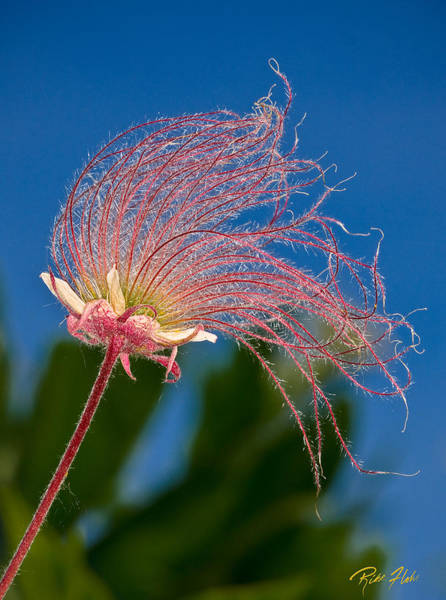 Photograph - Prairie Smoke On Blue by Rikk Flohr