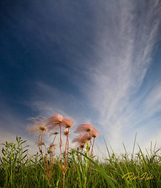 Photograph - Prairie Smoke On The Prairie by Rikk Flohr