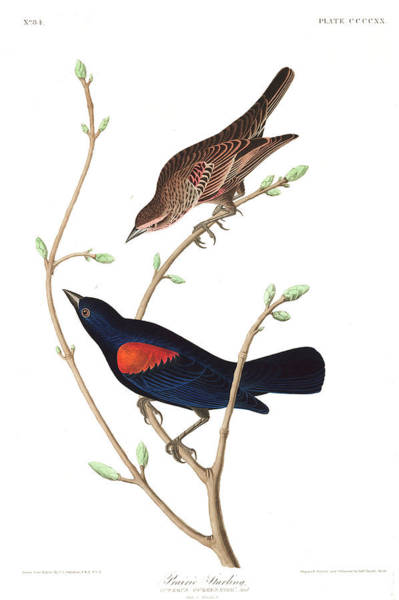 Wall Art - Painting - Prairie Starling by John James Audubon