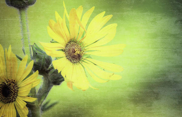 Mixed Media - Prairie Sunflower by Dan Sproul