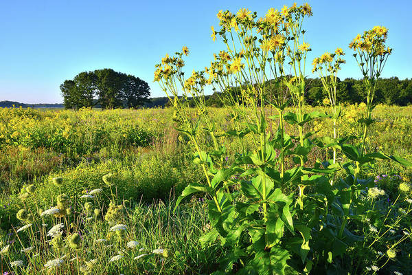 Chain Of Lakes Photograph - Prairie Sunflowers In Chain-o-lakes by Ray Mathis