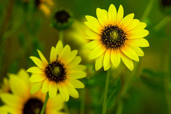 Photograph - Prairie Sunflowers  by John De Bord