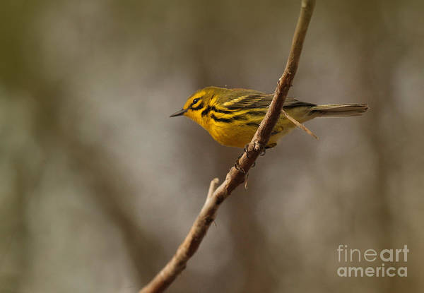 Photograph - Prairie Warbler by Charles Owens