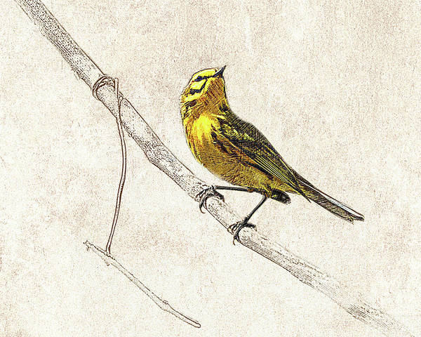 Photograph - Prairie Warbler Photographic Drawing by Dawn Currie