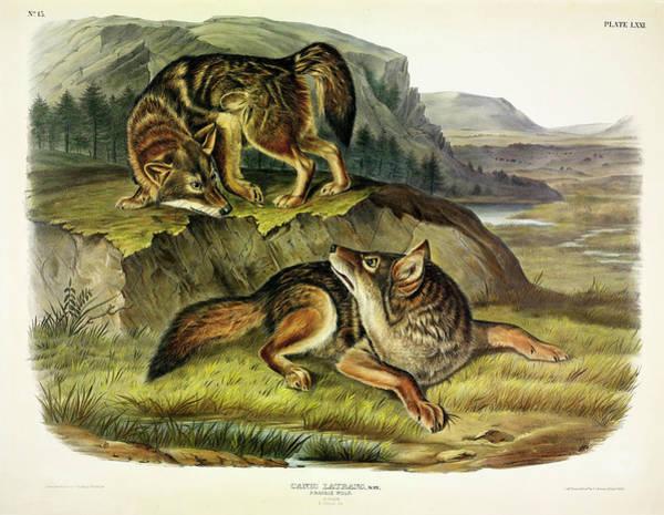 Prairie Painting - Prairie Wolf by John James Audubon