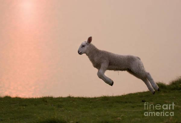 Sheep Photograph - Prancing Lamb by Angel Ciesniarska