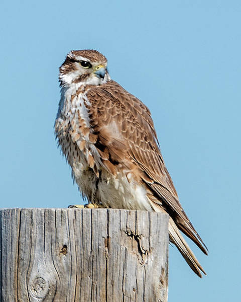 Photograph - Prarie Falcon by Norman Hall