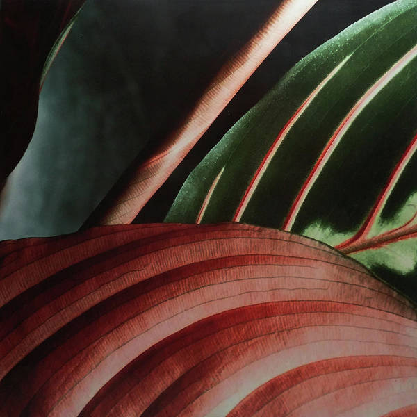 Photograph - Prayer Plant by Roger Bester