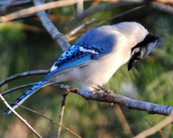 Photograph - Praying Blue Jay by Jai Johnson